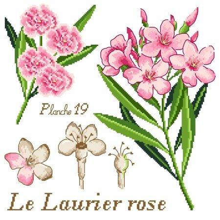 Etude Botanique : Le Laurier rose