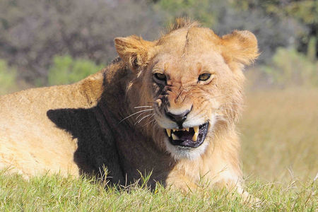 Jeune_lion__r_serve_de_Moremi__Botswana__2_