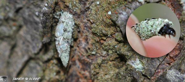 Larve psyché Luffia lapidella f. ferchaultella