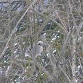 2009 01 14 Un Geai sur les branches