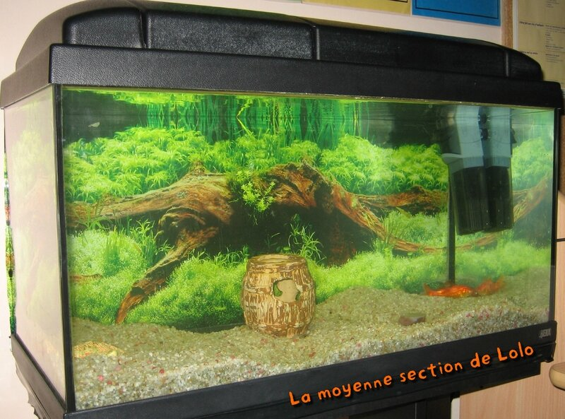 Le petit poisson rouge la moyenne section de lolo for Aquarium design poisson rouge