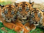lovely_tiger_cubs