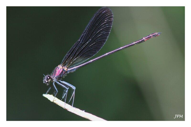 Calopteryx_haemorrhoidalis_280716_6_GF