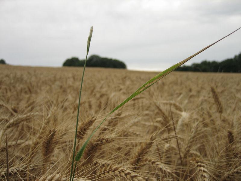 Champs de blé, au Thoureil