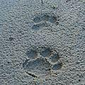 Leopardus pardalis - ocelot