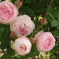 Les roses du dimanche