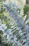 Eucalyptus_20species