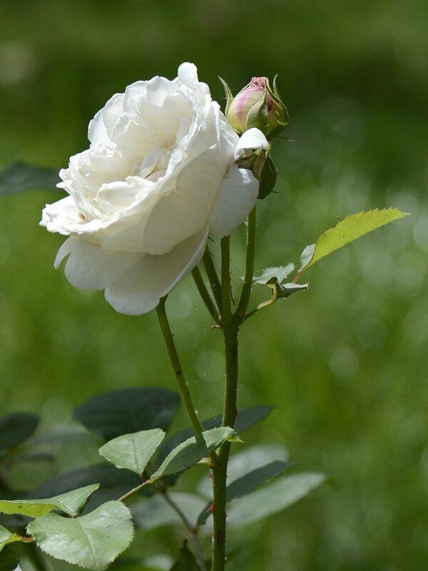 Rose 2 Giselle 2-6-16