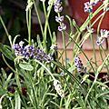15-des fleurs de lavande