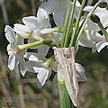 Narcisse papyracé