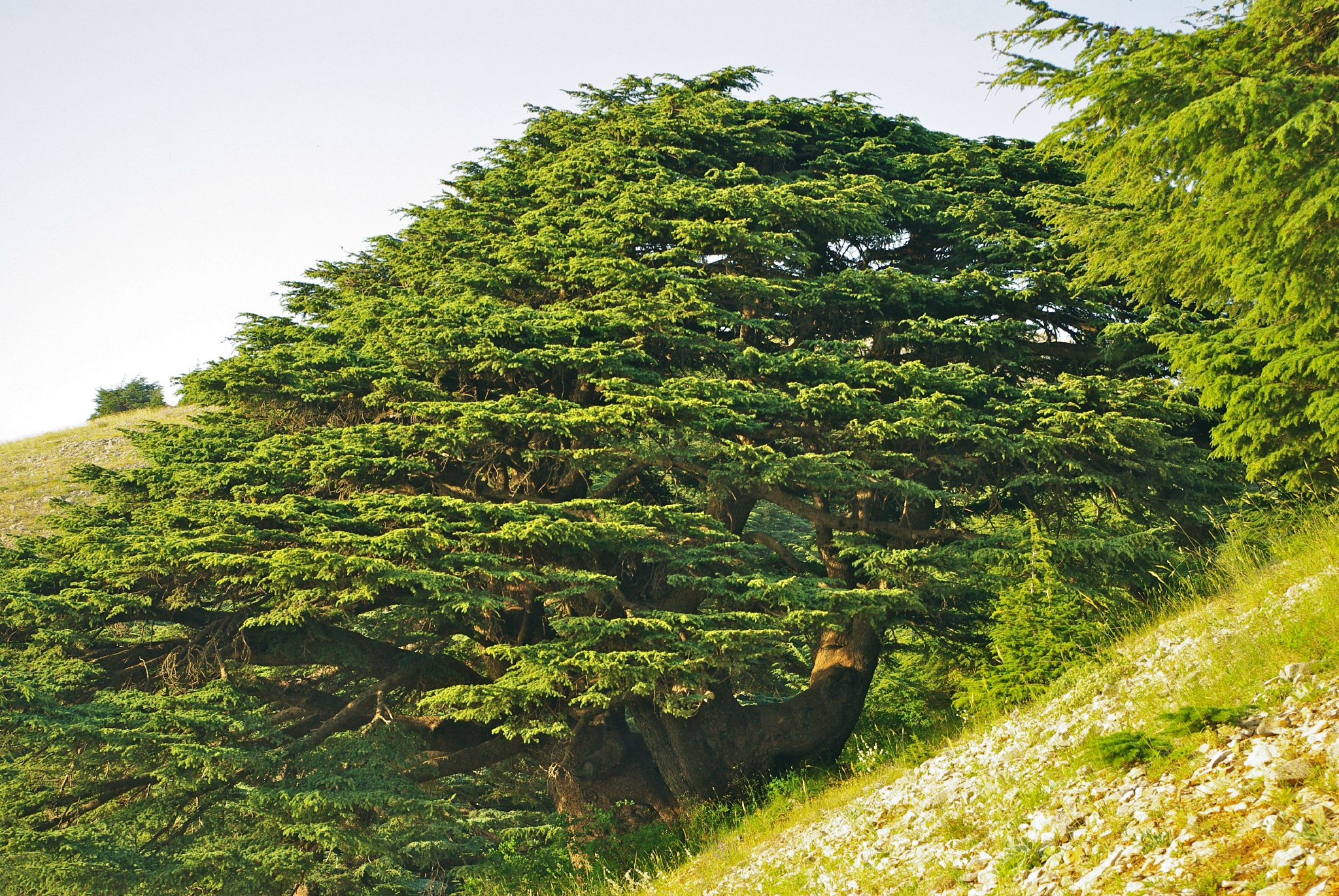 Impressions du liban 5 les c dres alter et ego carnet - Cedre bleu du liban ...