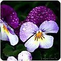 « la plus belle de toutes les fleurs est la fleur
