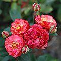 Rosa 'princesse mathilde'