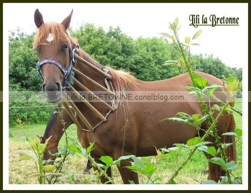 chevaux à Moréac 18