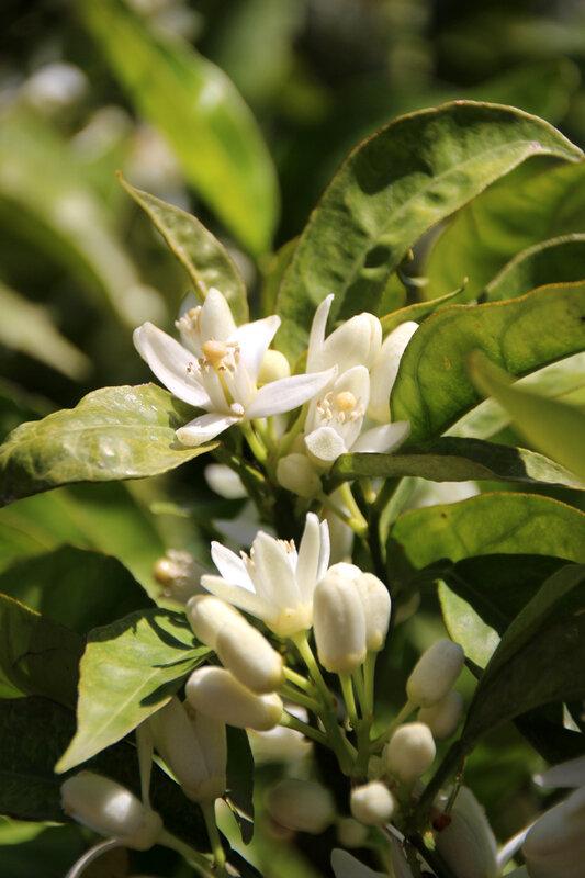 citronnier_fleurs