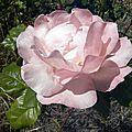 fleurs-roses (5)