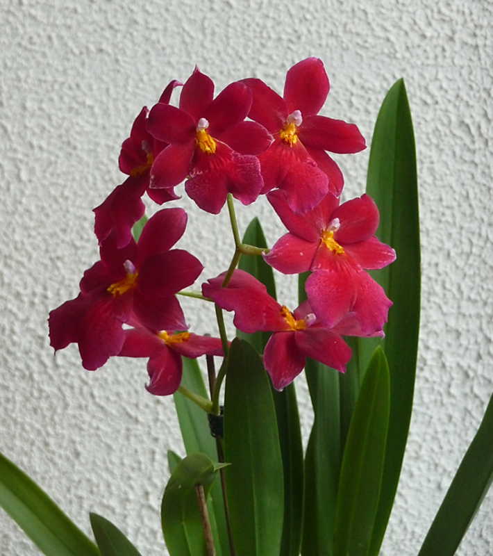orchidee ombre ou soleil