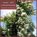 Les roses de Corboeuf-Marsault : 'Avenir'