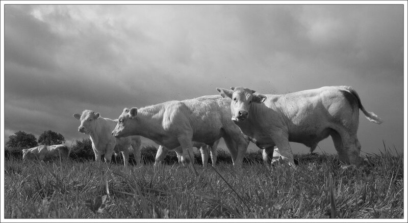 PH tour c GA vaches 14 082014 nb