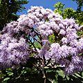 La mortella - du violet