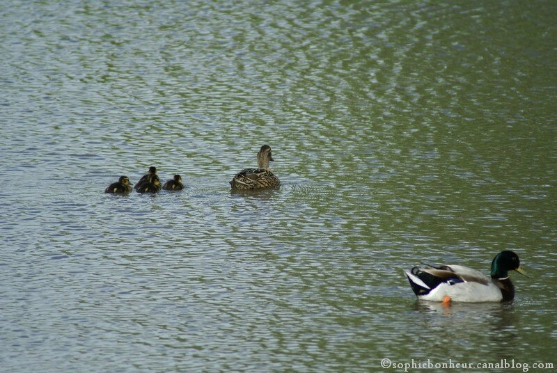 chemin famille canards