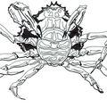 étude araignée de mer