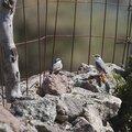 Lesbos oiseaux 37 - Sittelle de Neumayer