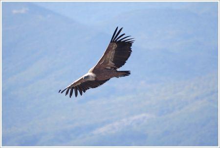 vautour_profil_net_montagne_matin_250408