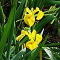 Iris aquatiques 2804167