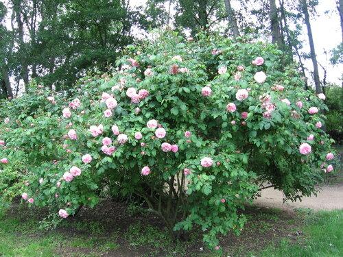 La taille automne hiver les amoureux des roses de romilly - Taille des rosiers automne ...
