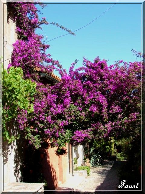 Bougainvillier_Collioure