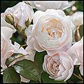 Desdemona - rosier anglais en conteneur - david austin