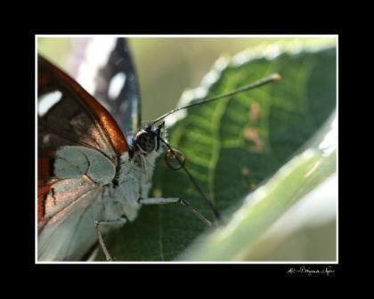papillon trompe 30x40
