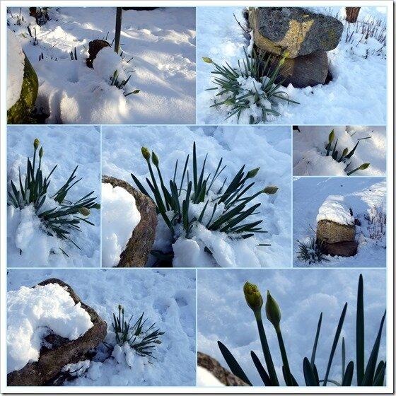 jonquilles dans la neige_exposure