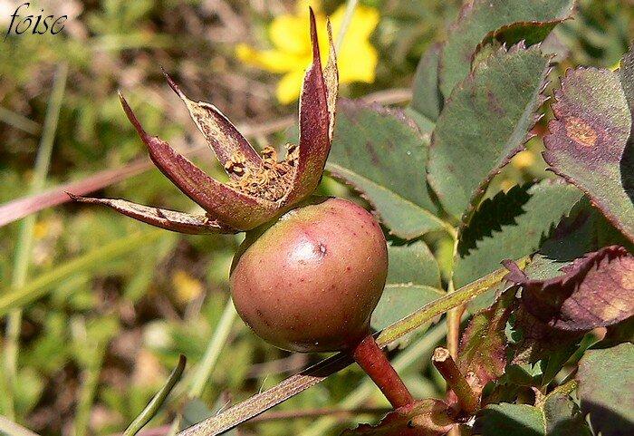 fruit surmonté des sépales persistants