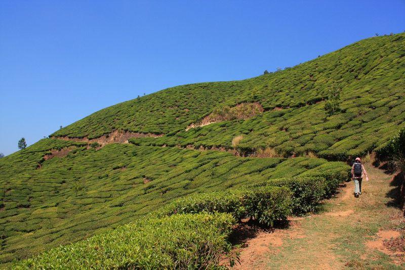 A travers les champs de thé