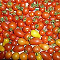 14-tomates cerises www.passionpotager.canalblog.com