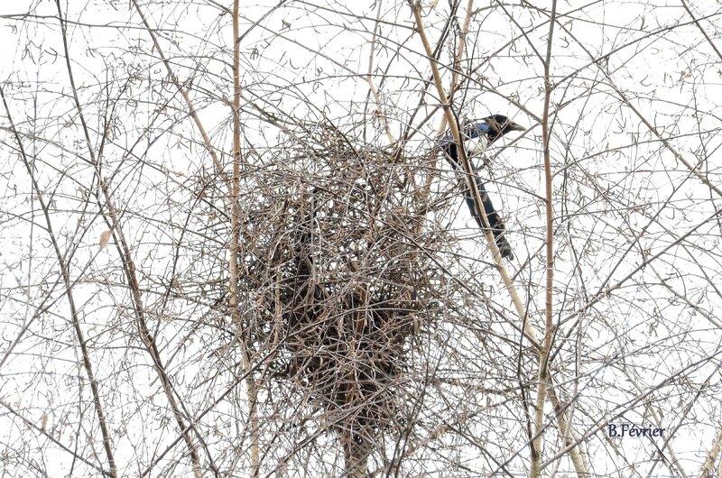 Pie bavarde (Pica pica) - son nid