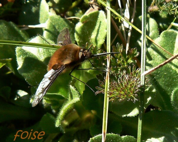 Bombylius_sp