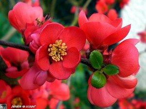 Cognassier_fleur_rouge