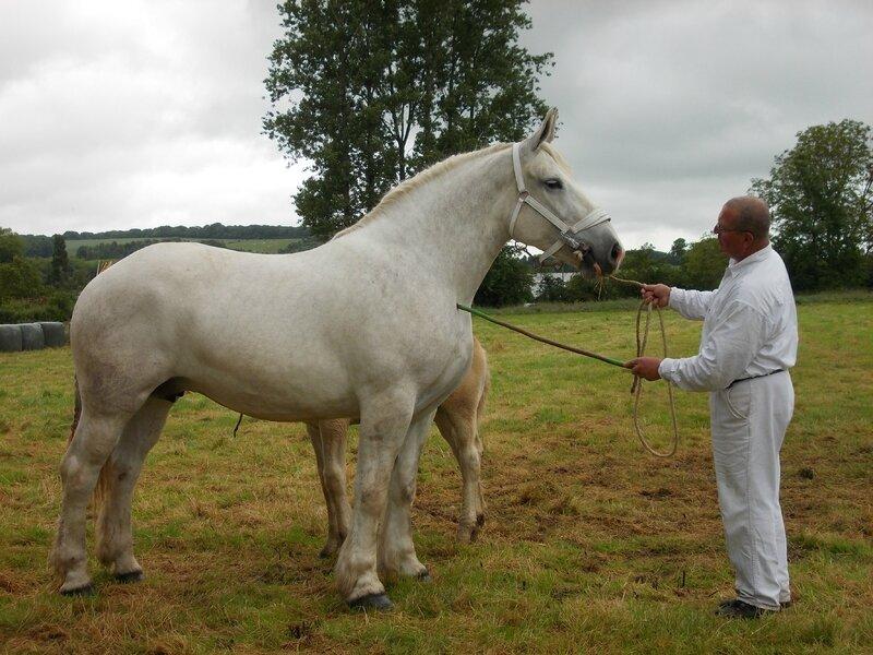 Duchesse 36 - 21 Juin 2016 - Concours d'élevage local - Bonningues les Ardres - 1ere (3 ans Suitées)