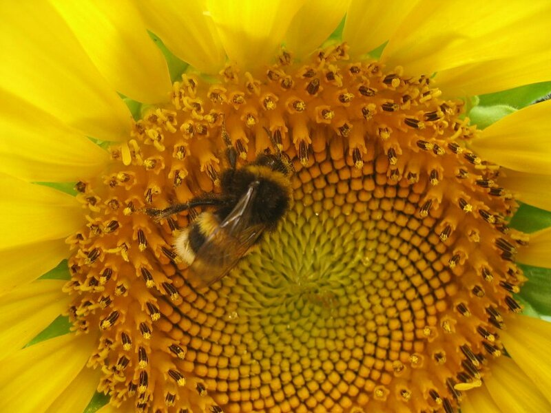 1024px-Sunflower_with_a_bee