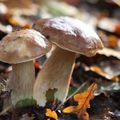 Cèpes en couple