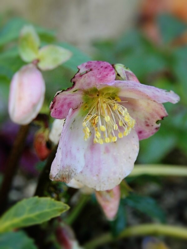 les hellebores rosissent