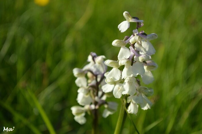 170421_chateaudouble_7_orchis_bouffon