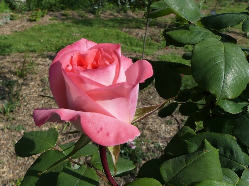 Rose JP N°27