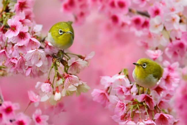 yummy-sue-hsu-oiseaux-cerisiers-japon-photos-4