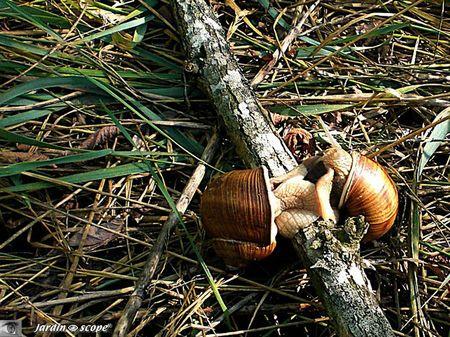 Escargot de Bourgogne • Helix pomatia