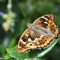 Un papillon déroutant par la variabilité de son habitus...