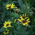 2009 08 17 Fleurs inconnu en fleur parmis mon mélange de fleurs qui attirent les papillons